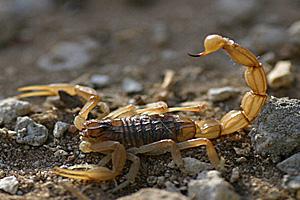 Скорпионы Buthus occitanus во Франции