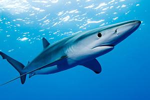 Синие акулы у берегов Франции