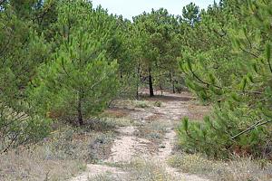 Насаждения молодого леса во Франции