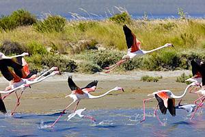Розовые фламинго во Франции (Лазурный берег)