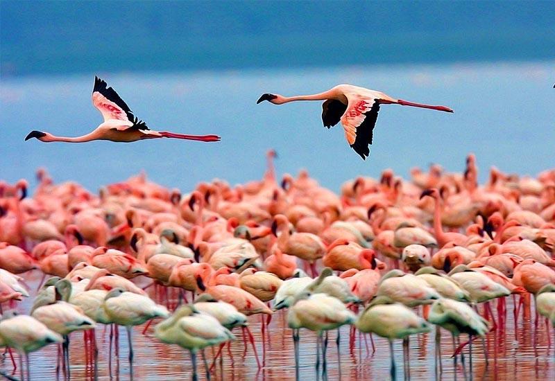 Фламинго во Франции