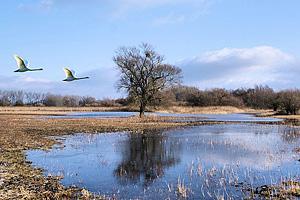 Дикие гуси над озером Соер (Эльзас)