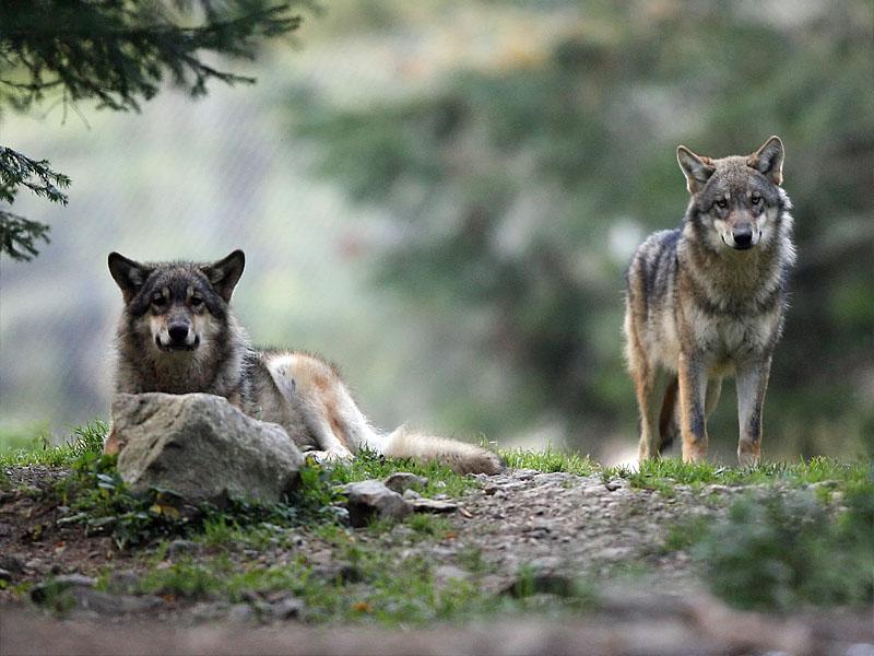 Волк - самый крупный хищник в горах Юра